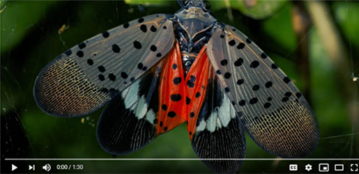 YouTube: Spotted Lanternfly Genome Reconstructed