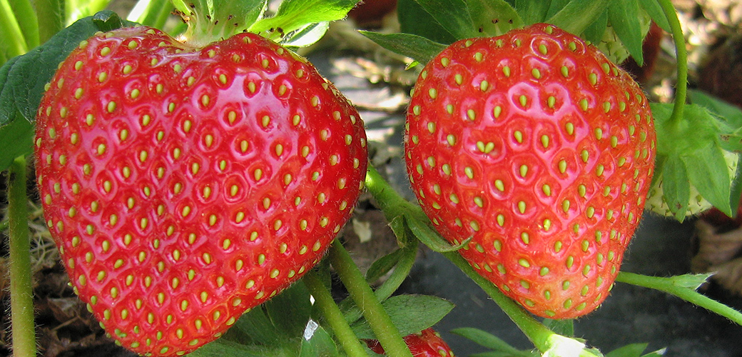 Featured Tellus Content:  Keeping Strawberries Mold Free