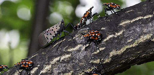 ARS Featured Photo: Spotted Lanternfly