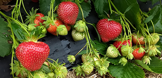 A New ARS Strawberry is a 'Keepsake'