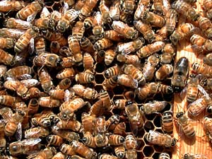 Picture of Worker Honeybees and Drones