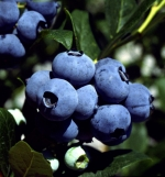 cluster of Chanticleer blueberries