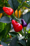 Ornamental Red and Blue Peppers - ARS Image D254-24 Stephen Ausmus