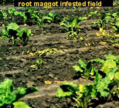 Root maggot infested field