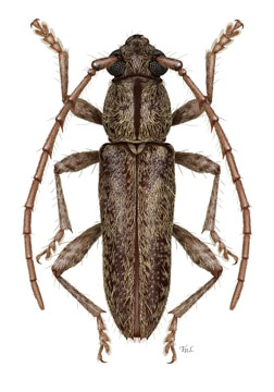 Elaphidion costipenne, dorsal habitus illustration