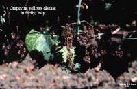 Symptoms of grapevine yellows disease in grapevine