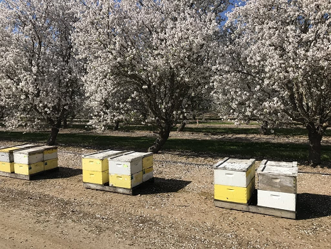 /ARSUserFiles/20220500/Varroa/How to Sample/Honeybee colonies in almond orchard.png