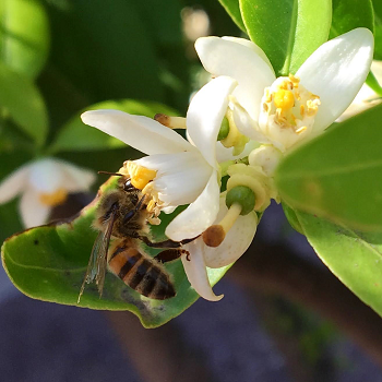 /ARSUserFiles/20220500/Varroa/How to Sample/Honeybee foraging on citrus flower.png