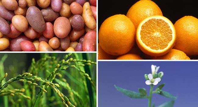 potatoes, oranges, rice plant, model plant Arabidopsis. Photos: S. Bauer, P. Greb; ARS Office of Communications