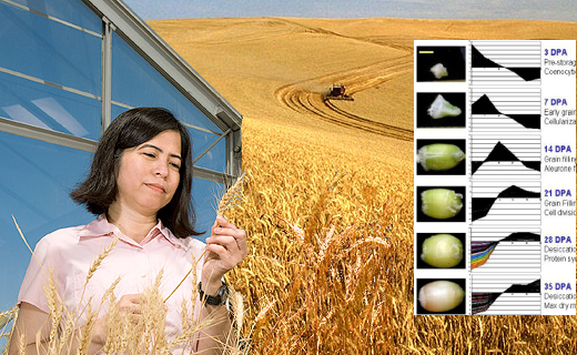 There are many genetic traits that need to be examined for crop improvement. Molecular biologist Debbie Laudencia-Chingcuanco examines wheat for storage protein traits.