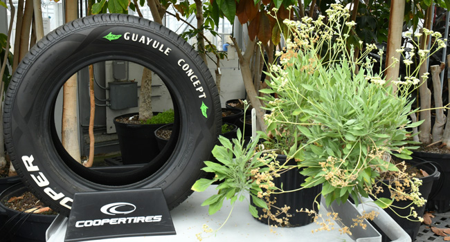 Demonstration tire (L) made from guayule latex and guayule plant (R). Photo: De Wood, BRU