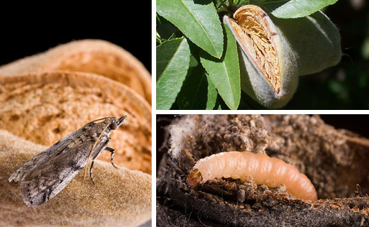 FTDP chemists are collaborating with almond industry researchers to create a potent attractant for navel orangeworm, the primary insect pest of almonds. Larval feeding can promote fungal infection in kernels, potentially leading to contamination with carcinogenic toxins.