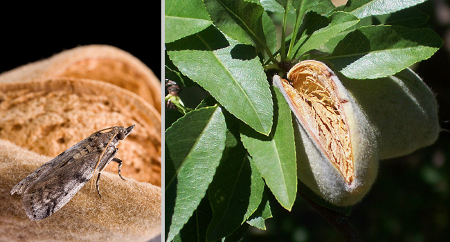 (L) adult navel orangeworm moth on almond; (R) almond hull split