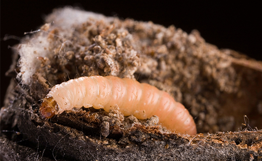 CPQ scientists apply a systems approach to remove field pests such as the navel orangeworm from marketed product
