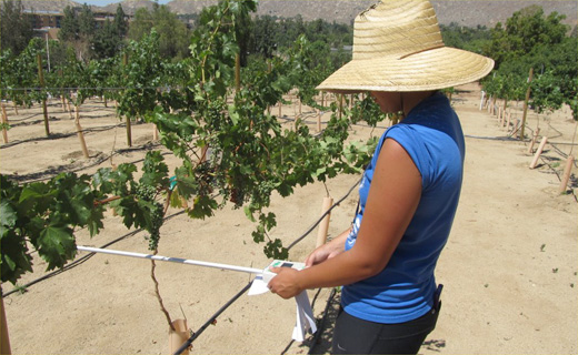 UC-Riverside cooperative junior specialist Teresa Clapp measures the amount of sunlight absorbed by wine grapes.  Reduced growth due to salinity will likely result in less sunlight absorbed by the grapes.