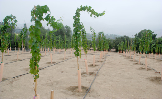 NIFA-USDA funded project to evaluate salinity and drought tolerance of rootstocks used in the production of Cabernet-Sauvignon wine grapes