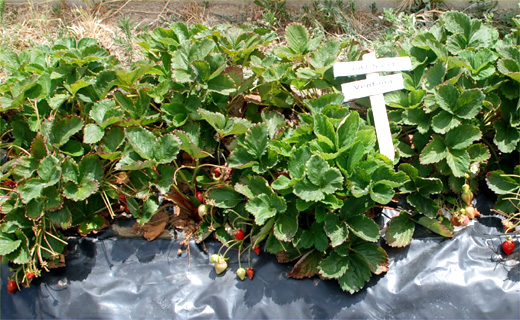 Evaluation of commercial strawberry cultivars for growth, development, and fruit production under salinity stress