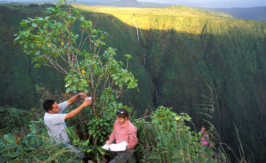 ARS researchers working in the field in Hawaii