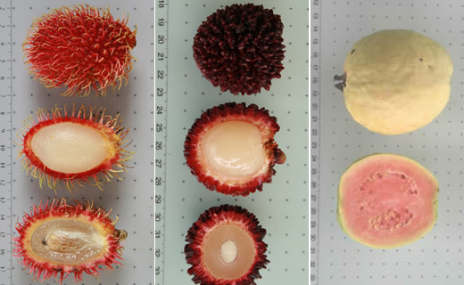 Left to right; Nephelium lappaceum var. lappaceum (rambutan) top to bottom whole, with skin partially removed, cut in half showing seed; Nephelium ramboutan-ake (pulasan) top to bottom whole, with skin partially removed, cut in half showing seed; Psidium guajava (guava) whole and half.