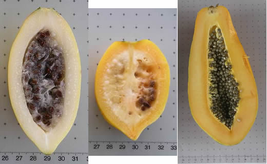Left to right: Vasconcellea goudotiana, Vasconcellea pubescens (mountain papaya), Carica papaya (papaya); all cut in half showing interior.