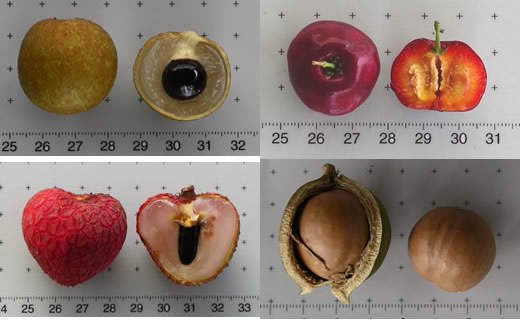 Top left to right; Dimocarpus longan (longan) whole and half, Malpighia glabra (acerola) exterior top view and half. Bottom left to right; Litchi chinensis (litchi) whole and half, Macadamia integrifolia (macadamia) with husk, shell.