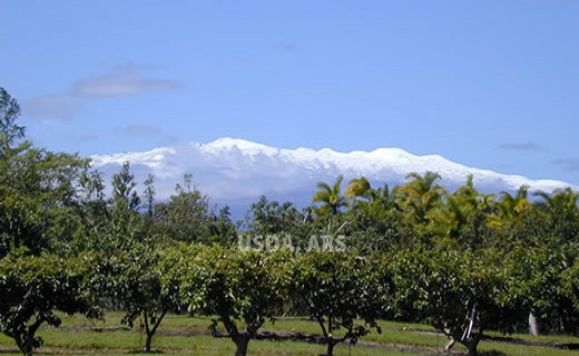 Mauna Kea as seen from our guava field.