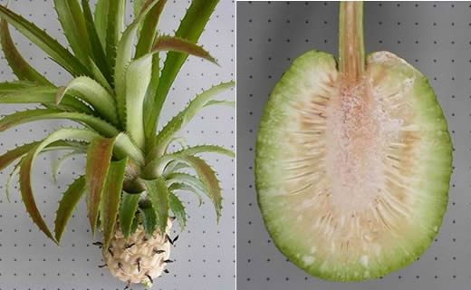 Left to right: Ananas comosus var. ananassoides, Artocarpus altilis (breadfruit) interior.