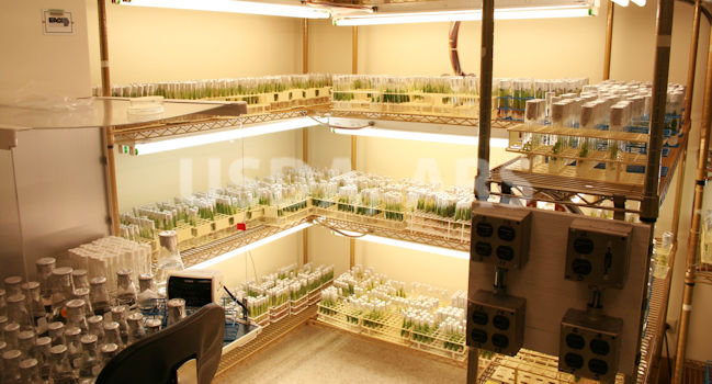 Backup of crops by tissue culture