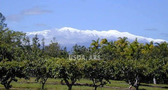 Mauna Kea as seen from our field
