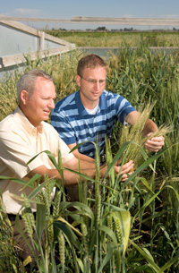 Photo of Dr. Bonman and Dr. Jackson with wheat.