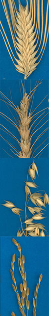 Picture of Four Different Grains