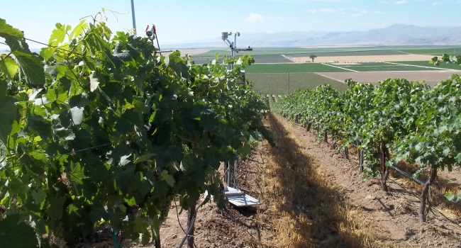 A vineyard used in water stress research.
