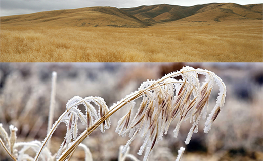 Cheatgrass invasion into the Great Basin has truncated secondary succession by outcompeting native plants. 