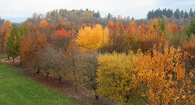 Pear trees displaying beautiful yellow and orange fall colors with a green meadow on the left side of the image