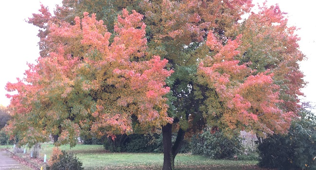 "an image of a large pear tree known as ""Autumn Blaze"" displaying orange fall colors with a hint of green."