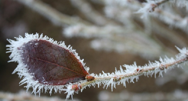 A frosty blueberry leaf.