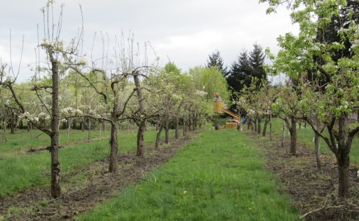 Rejuvenation of the NCGR living pear collection.