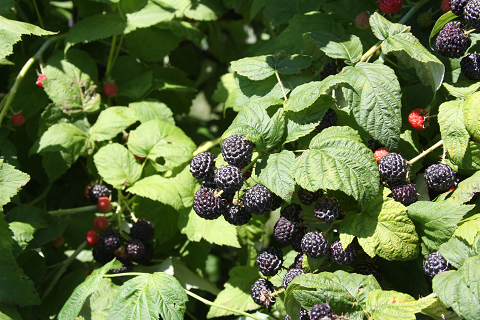 Rubus occidentalis (black raspberry or black cap) was grown for making the dye for the USDA meat stamp.  Now, researchers are studying its bio-active compounds for health benefits.