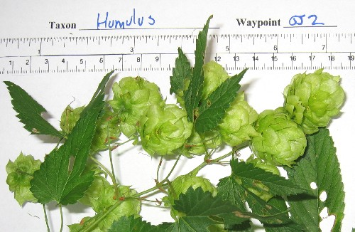 wild hops collected in Colorado