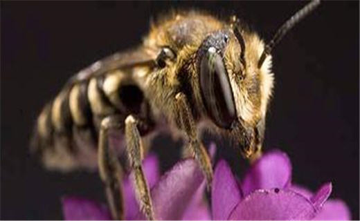 Welcome to the wide world of bees!  Come learn about native bee diversity, the pollination needs of plants, and how to raise or enhance important, unusual bees.  For more information, see our Bees, Pollination, and How To pages under Research Projects.