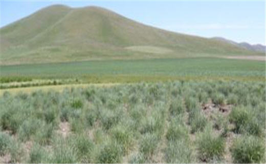 The FRRL is composed of a multidisciplinary team that has developed critically important plant materials presently used on the western U.S. rangelands and pastures.  We invite you to learn more about us, how we operate, and our products.