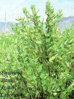 hemp dogbane apocynum cannabinum usda ars