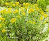 Rayless Goldenrod Haplopappus Heterophyllus Usda Ars
