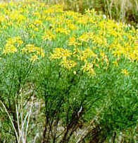 Riddell groundsel (Senecio riddellii).