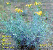 Threadleaf groundsel (Senecio longilobus); also called wooly groundsel
