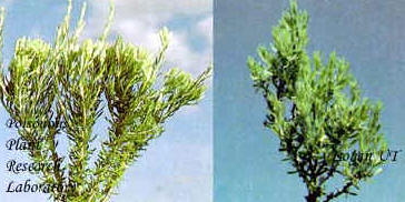 Left--Flower buds of littleleaf horsebrush; right--Spineless horsebrush