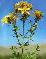St. Johnswort is a smooth-branched, erect plant.  After maturity, the flowers wilt and the entire plant turns brown.