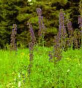 Tall larkspur (Delphinium barbeyi)
