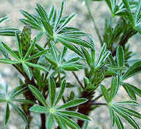 Closeup showing typical circular pattern of lupine leaves.