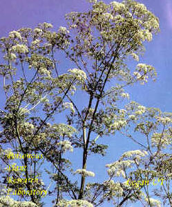 Poison-hemlock (Conium maculatum) is often mistaken for water hemlock or wild parsnip.